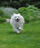 Small white spitz runing Royalty Free Stock Photos