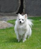 Small white spitz runing Royalty Free Stock Photo