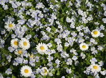Small white spring daisies Royalty Free Stock Images