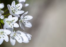 Small white spring flowers royalty free stock images
