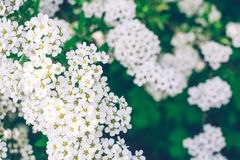 Small white flowers on a green background of leaves royalty free stock images