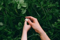 Small white strawberry flower gently touch the hands stock images