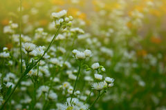 Small white summer flowers. Pretty White Flowers Blooming in a Garden. White small chrysanthemum mum flower. Camomile field, many small white petals and yellow Stock Photo