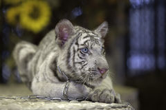 Small white tiger Stock Image