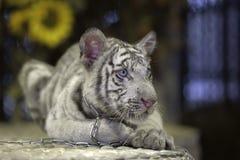 Small white tiger Stock Image