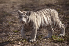 Small white tiger Royalty Free Stock Images