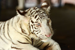 Small white tiger. Tiger in Khao Kheow zoo in Chonburi, Thailand Royalty Free Stock Images