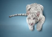 Small white tiger Royalty Free Stock Photography