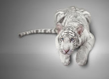 Small white tiger Stock Photo