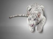 Small white tiger Stock Photo