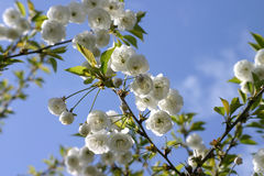 Small White Tree Blossoms Royalty Free Stock Image