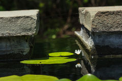 Small White Water Lily reflecting amongst lily pads Royalty Free Stock Photo
