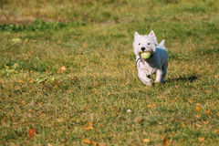 Small White West Highland White Terrier - Westie Stock Image