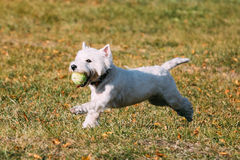Small White West Highland White Terrier - Westie. Playful White West Highland White Terrier - Westie, Westy Dog Runnig on Green Grass With Ball stock photo