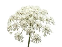 Wild carrot flowers isolated