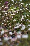 Small white wild flowers Stock Image