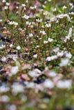 Small white wild flowers Royalty Free Stock Photos