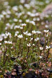 Small white wild flowers Stock Images