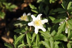 Small white windflower Anemone nemorosa on front of a bed of green stock image
