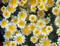 Small white and yellow chrysanthemums close-up Royalty Free Stock Photography