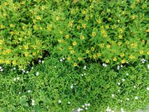 Small white and yellow flowers green leaves garden top view. Edfsmall white and yellow flowers green leaves garden top view Royalty Free Stock Image