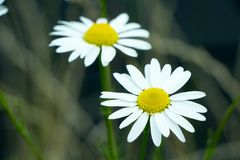 Small White and Yellow Flowers Royalty Free Stock Images