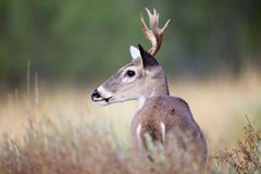 Small whitetail buck portrait Stock Images