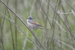 Small Whitethroat Bird Royalty Free Stock Photo