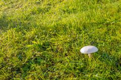 Small whitish mushroom between the grass. Clitocybe rivulosa, commonly known as the false champignon or fool`s funnel, is a poisonous basidiomycete fungus of the Stock Photography