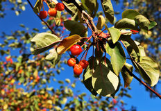 Small wild apples Stock Photography