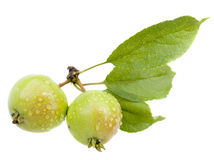 Small wild apples Royalty Free Stock Images