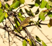 Small wild bird phylloscopus canariensis on plum tree Stock Images