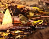 Small wild birds phylloscopus on the wet organic soil Royalty Free Stock Photo