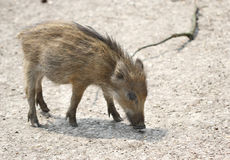 The small wild boar baby searching for the food Royalty Free Stock Photo