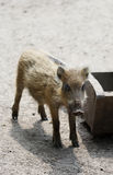 The small wild boar baby standing on the sand Royalty Free Stock Photos