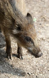 The small wild boar close up portrait Royalty Free Stock Photos