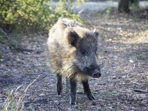 Small wild boar in the forest royalty free stock photo
