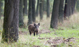 Small wild boar Royalty Free Stock Images
