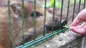 Small wild boar stock video