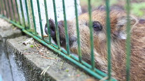 Small wild boar Royalty Free Stock Photo