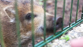 Small wild boar stock video footage