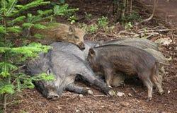 Small wild boars sucking milk Stock Image