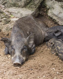 Small wild boars Stock Photos