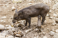 Small wild boars Royalty Free Stock Image