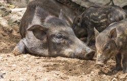 Small wild boars Royalty Free Stock Photo