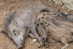 Small wild boars Royalty Free Stock Photo