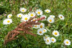 Camomiles in a wild meadow royalty free stock images