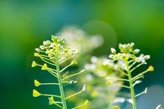 Small wild flowers Stock Image