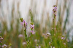 Small wild flowers on grass background. Small wild, purple, summer flowers against the background of grass Royalty Free Stock Image