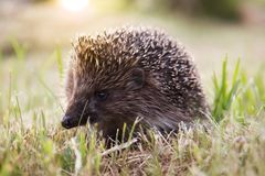 Small wild hedgehog Royalty Free Stock Photography